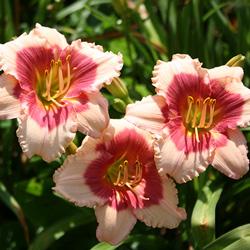 Stellas-Pink-Valentine_250x250